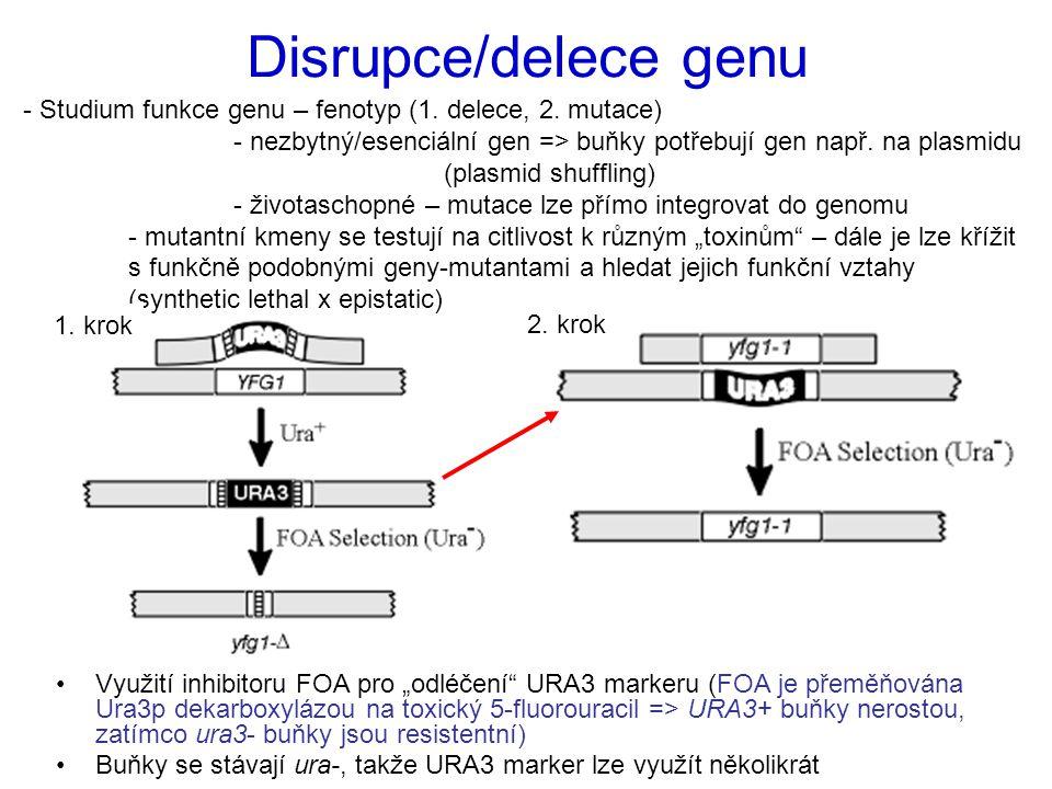 """Využití inhibitoru FOA pro """"odléčení URA3 markeru (FOA je přeměňována Ura3p dekarboxylázou na toxický 5-fluorouracil => URA3+ buňky nerostou, zatímco ura3- buňky jsou resistentní) Buňky se stávají ura-, takže URA3 marker lze využít několikrát Disrupce/delece genu - Studium funkce genu – fenotyp (1."""