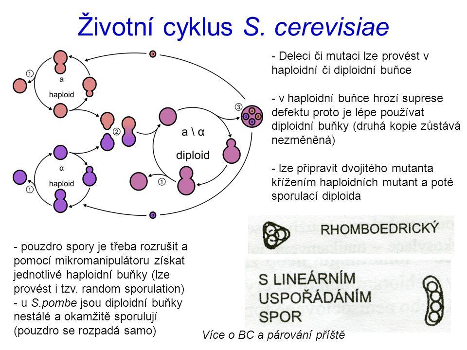 Životní cyklus S.