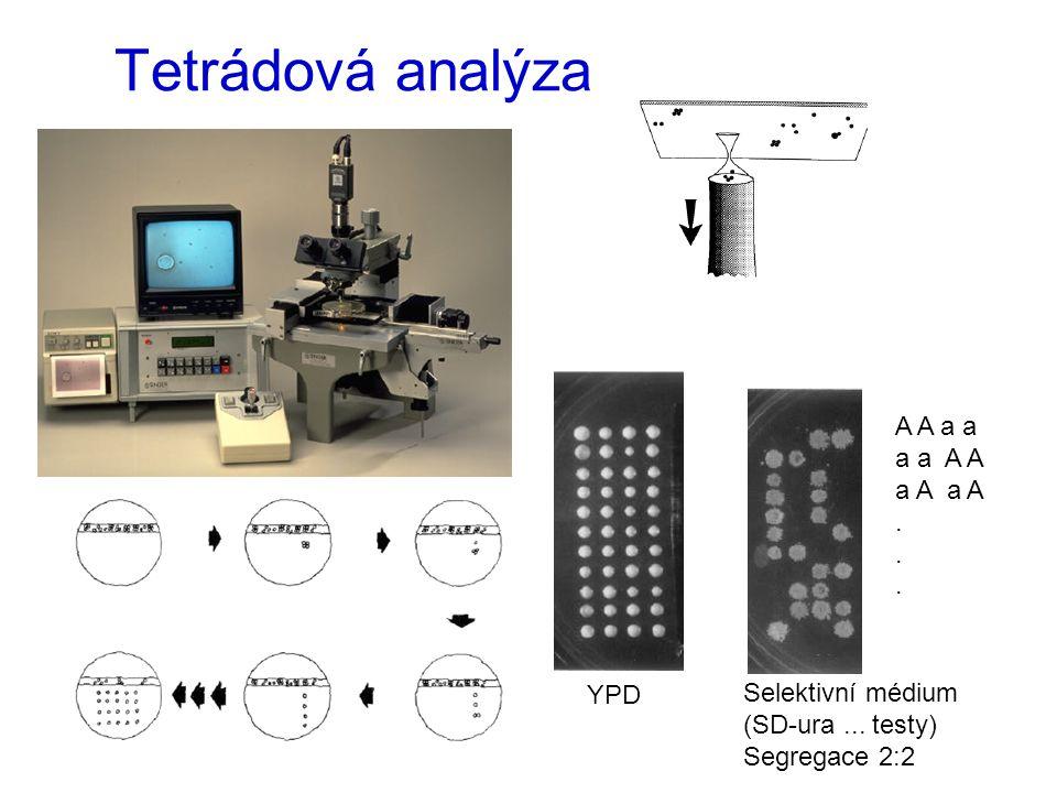Tetrádová analýza YPD Selektivní médium (SD-ura... testy) Segregace 2:2 A A a a a a A A a A.