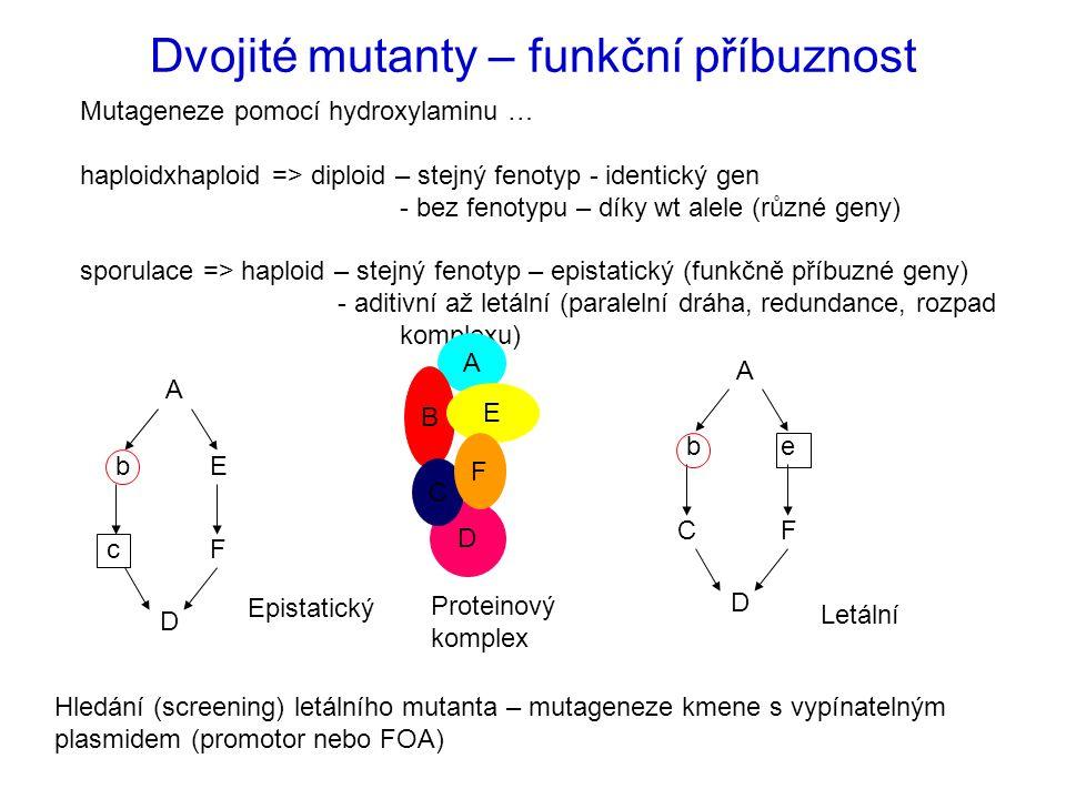 Dvojité mutanty – funkční příbuznost Mutageneze pomocí hydroxylaminu … haploidxhaploid => diploid – stejný fenotyp - identický gen - bez fenotypu – díky wt alele (různé geny) sporulace => haploid – stejný fenotyp – epistatický (funkčně příbuzné geny) - aditivní až letální (paralelní dráha, redundance, rozpad komplexu) A b C D e F A B E A b c D E F Hledání (screening) letálního mutanta – mutageneze kmene s vypínatelným plasmidem (promotor nebo FOA) Epistatický Letální D C F Proteinový komplex