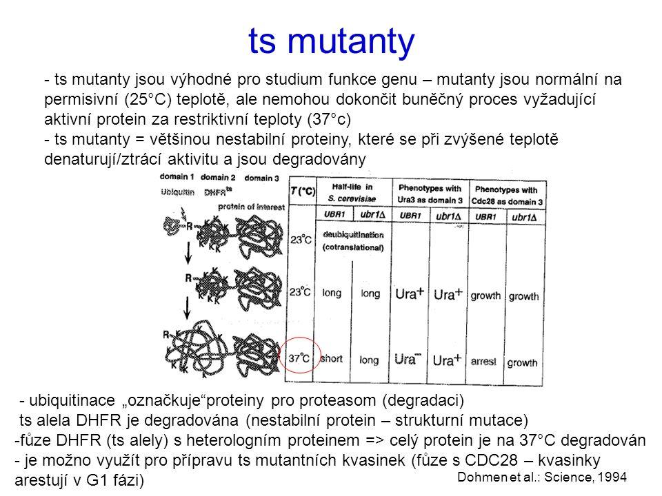 """ts mutanty - ts mutanty jsou výhodné pro studium funkce genu – mutanty jsou normální na permisivní (25°C) teplotě, ale nemohou dokončit buněčný proces vyžadující aktivní protein za restriktivní teploty (37°c) - ts mutanty = většinou nestabilní proteiny, které se při zvýšené teplotě denaturují/ztrácí aktivitu a jsou degradovány Dohmen et al.: Science, 1994 - ubiquitinace """"označkuje proteiny pro proteasom (degradaci) ts alela DHFR je degradována (nestabilní protein – strukturní mutace) -fůze DHFR (ts alely) s heterologním proteinem => celý protein je na 37°C degradován - je možno využít pro přípravu ts mutantních kvasinek (fůze s CDC28 – kvasinky arestují v G1 fázi)"""