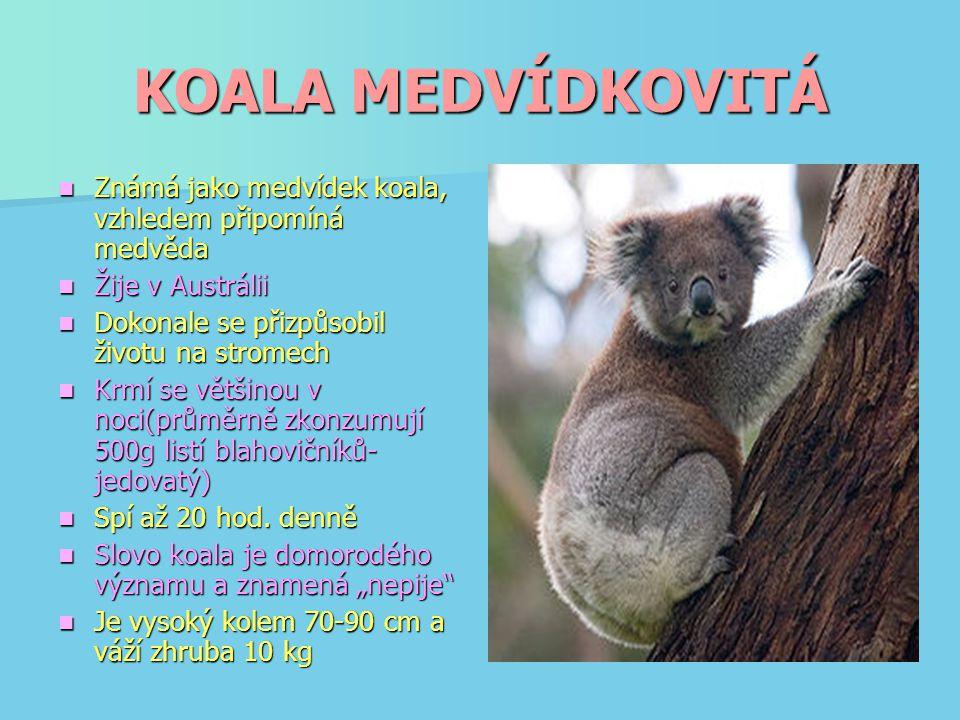 KOALA MEDVÍDKOVITÁ Známá jako medvídek koala, vzhledem připomíná medvěda Známá jako medvídek koala, vzhledem připomíná medvěda Žije v Austrálii Žije v