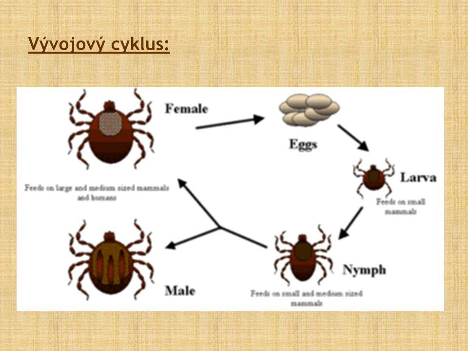 Vývojový cyklus: