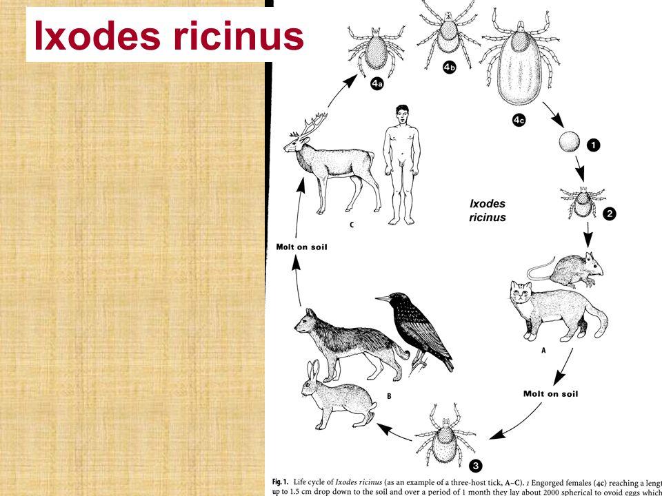 Ixodes ricinus