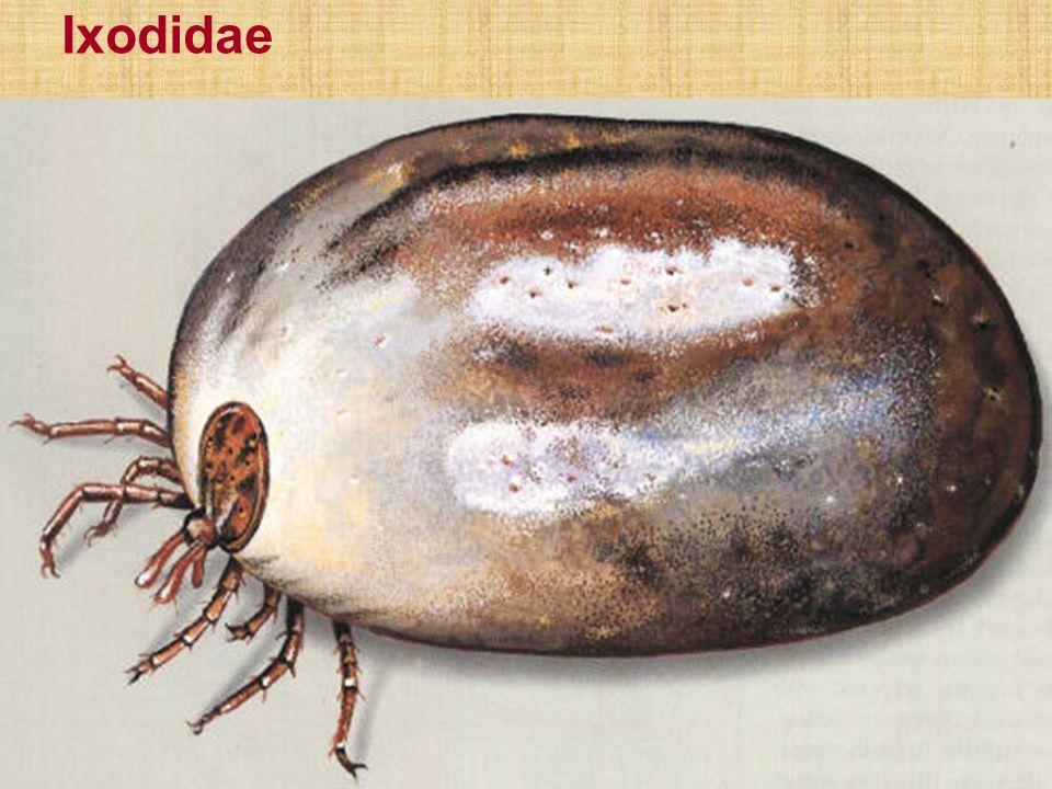 Ixodidae