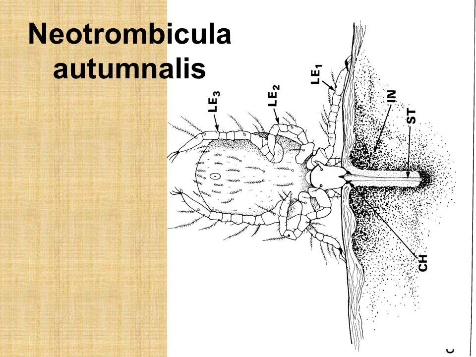 Neotrombicula autumnalis