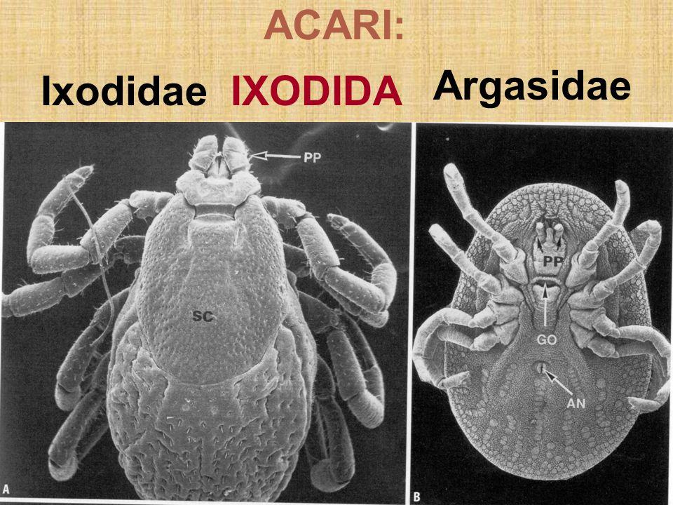 Ixodidae IXODIDA Argasidae ACARI: