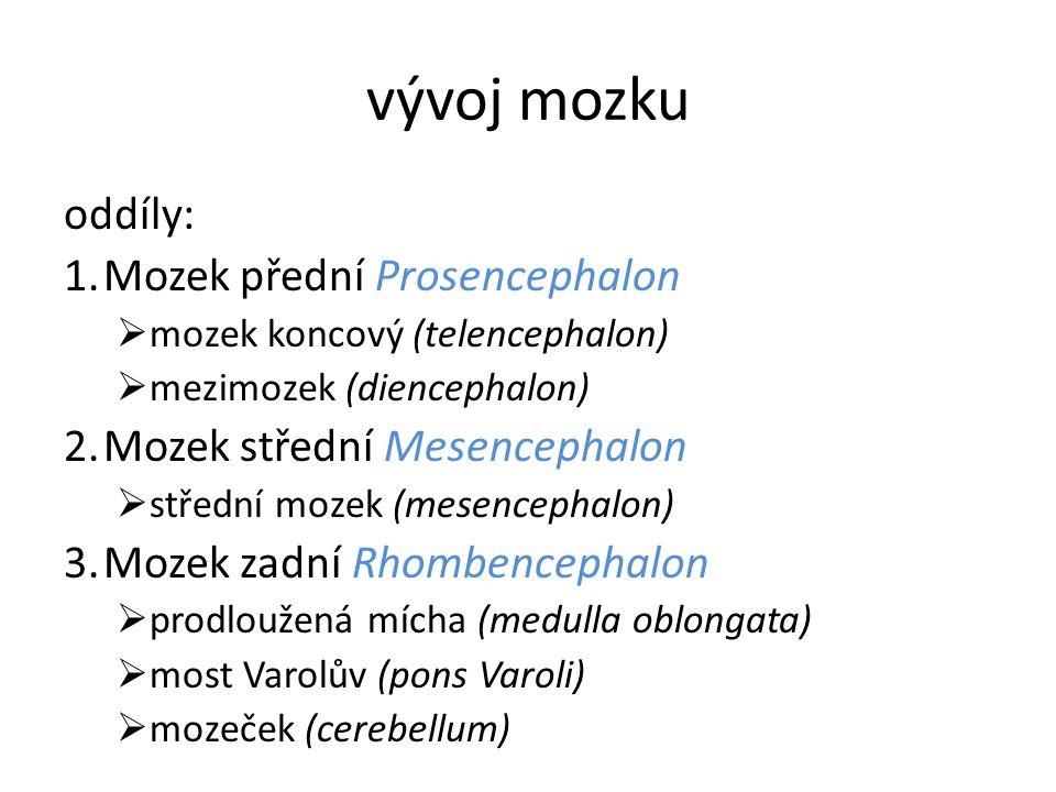 vývoj mozku oddíly: 1.Mozek přední Prosencephalon  mozek koncový (telencephalon)  mezimozek (diencephalon) 2.Mozek střední Mesencephalon  střední m