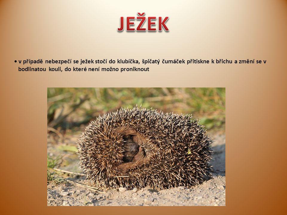 v případě nebezpečí se ježek stočí do klubíčka, špičatý čumáček přitiskne k břichu a změní se v bodlinatou kouli, do které není možno proniknout