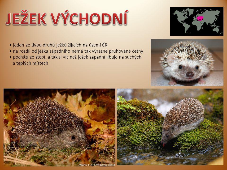 jeden ze dvou druhů ježků žijících na území ČR na rozdíl od ježka západního nemá tak výrazně pruhované ostny pochází ze stepí, a tak si víc než ježek