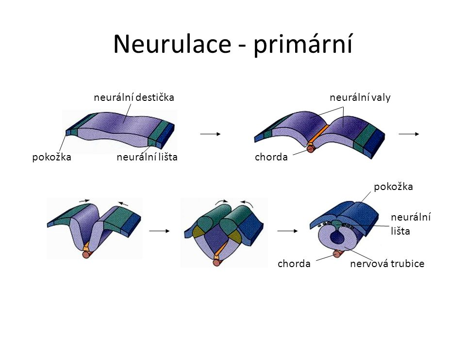 Neurulace - primární neurální destička pokožkaneurální lišta neurální valy chorda nervová trubice pokožka chorda neurální lišta