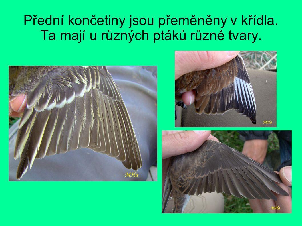 Přední končetiny jsou přeměněny v křídla. Ta mají u různých ptáků různé tvary.