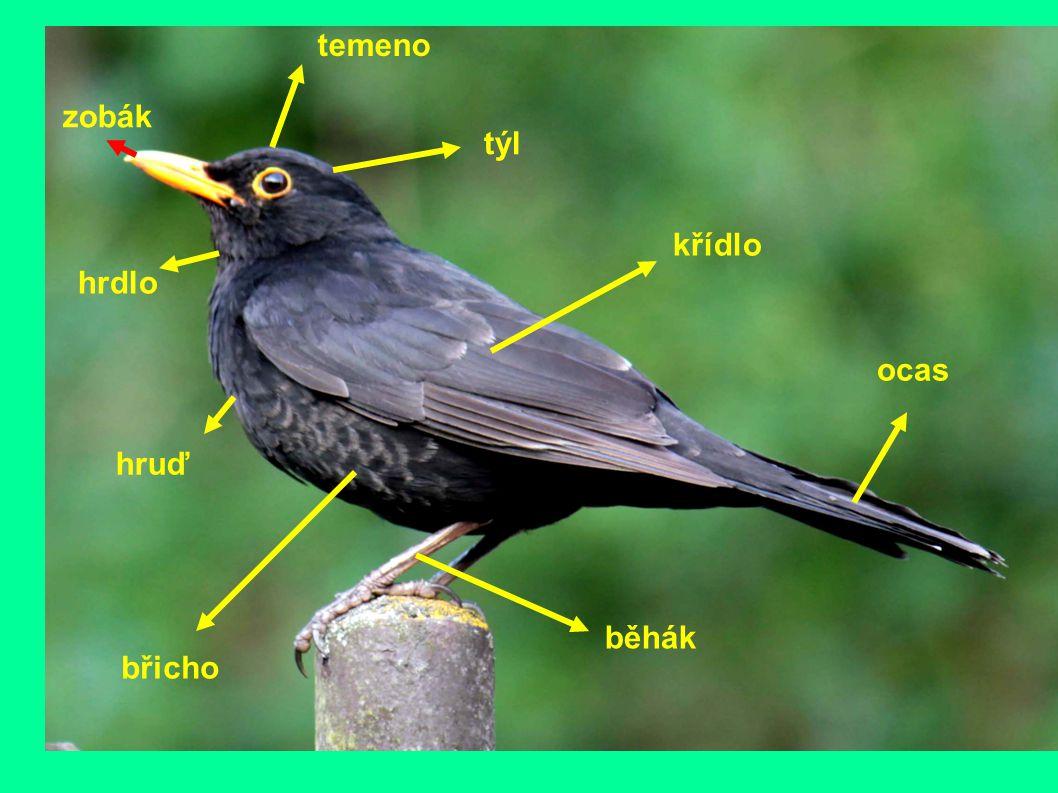 zobák temeno týl hrdlo hruď břicho křídlo ocas běhák