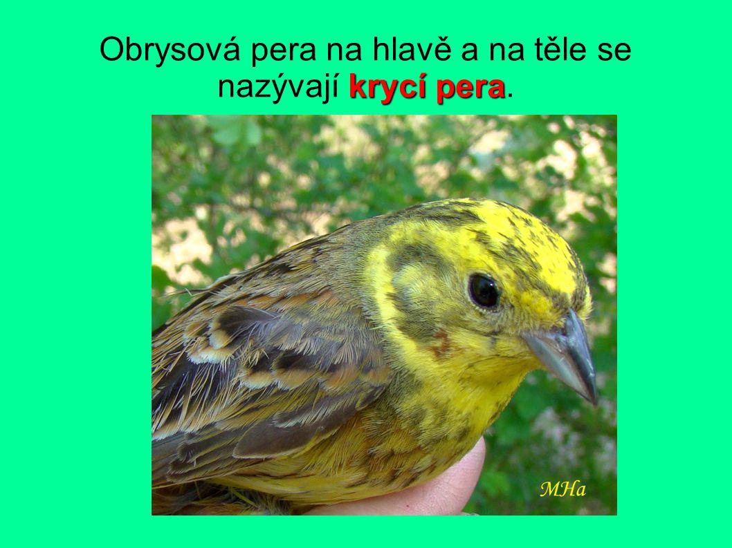krycí pera Obrysová pera na hlavě a na těle se nazývají krycí pera.