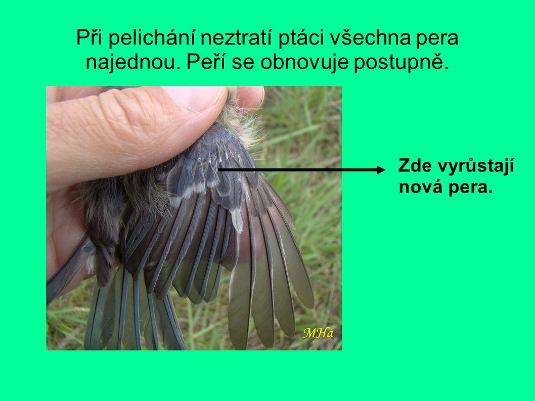 Při pelichání neztratí ptáci všechna pera najednou.