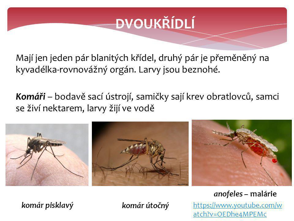 DVOUKŘÍDLÍ Mají jen jeden pár blanitých křídel, druhý pár je přeměněný na kyvadélka-rovnovážný orgán. Larvy jsou beznohé. Komáři – bodavě sací ústrojí