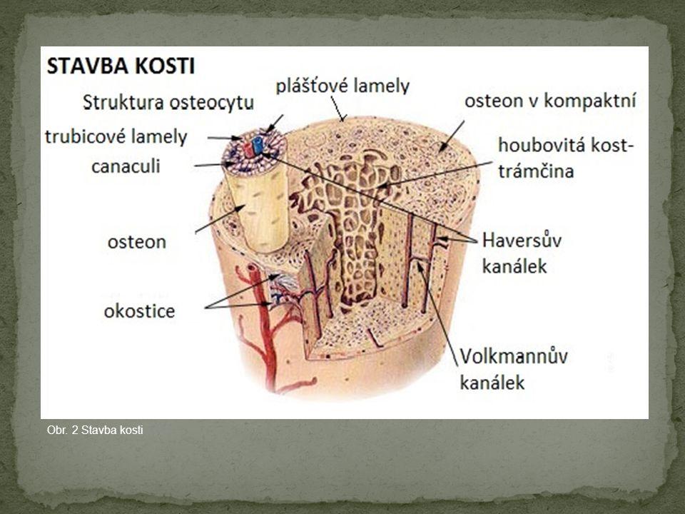 Obr. 2 Stavba kosti
