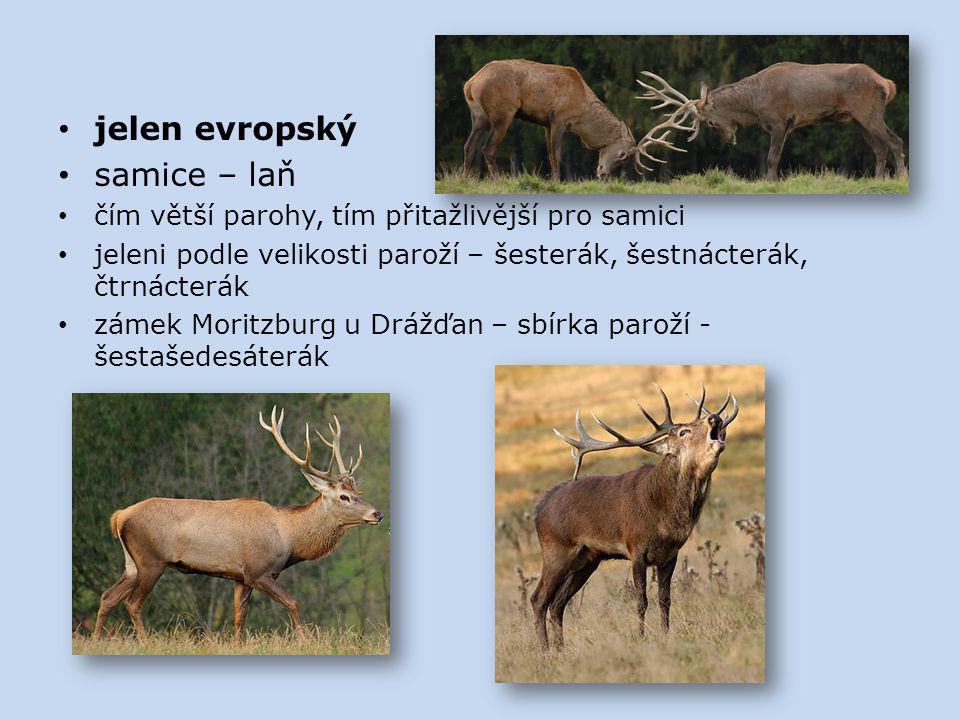 jelen evropský samice – laň čím větší parohy, tím přitažlivější pro samici jeleni podle velikosti paroží – šesterák, šestnácterák, čtrnácterák zámek M