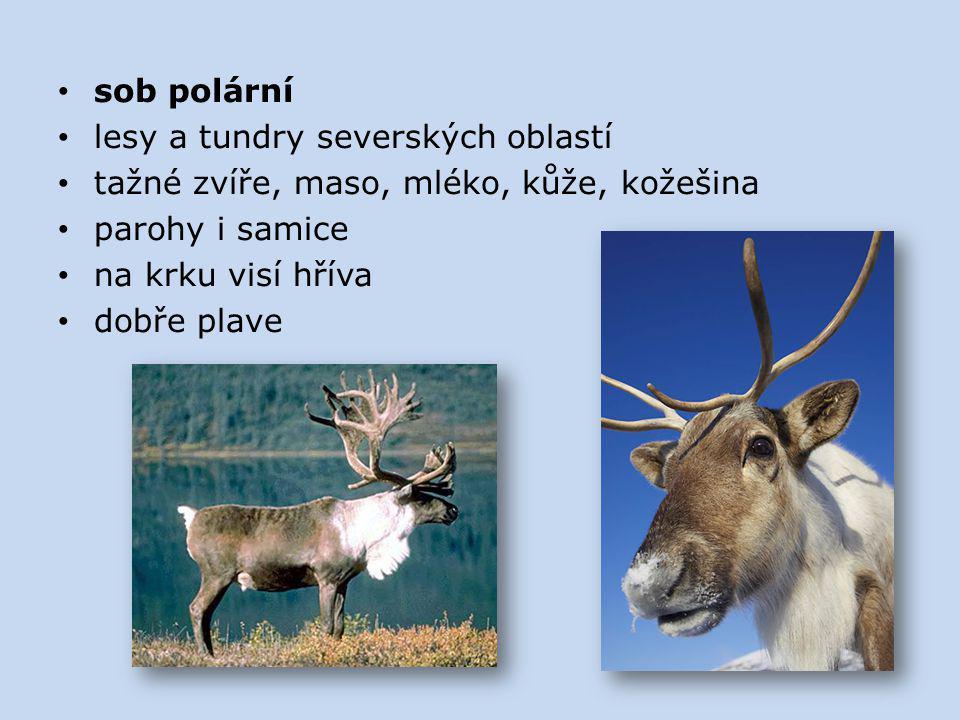 sob polární lesy a tundry severských oblastí tažné zvíře, maso, mléko, kůže, kožešina parohy i samice na krku visí hříva dobře plave