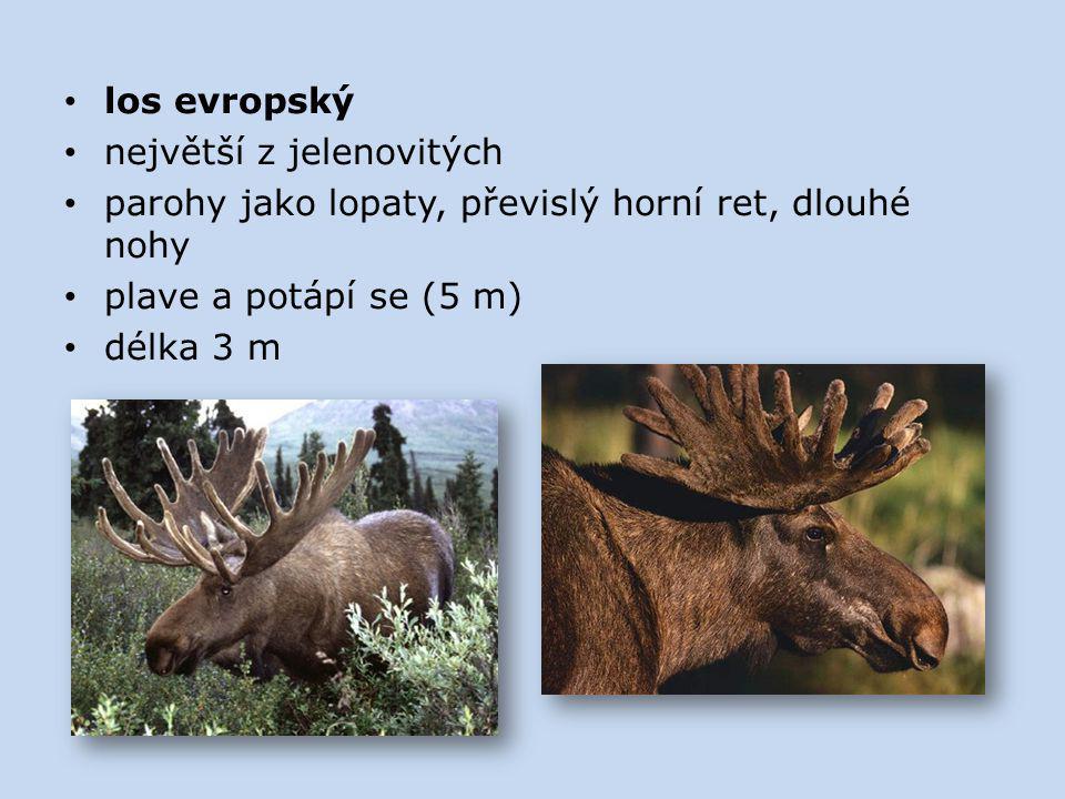 los evropský největší z jelenovitých parohy jako lopaty, převislý horní ret, dlouhé nohy plave a potápí se (5 m) délka 3 m