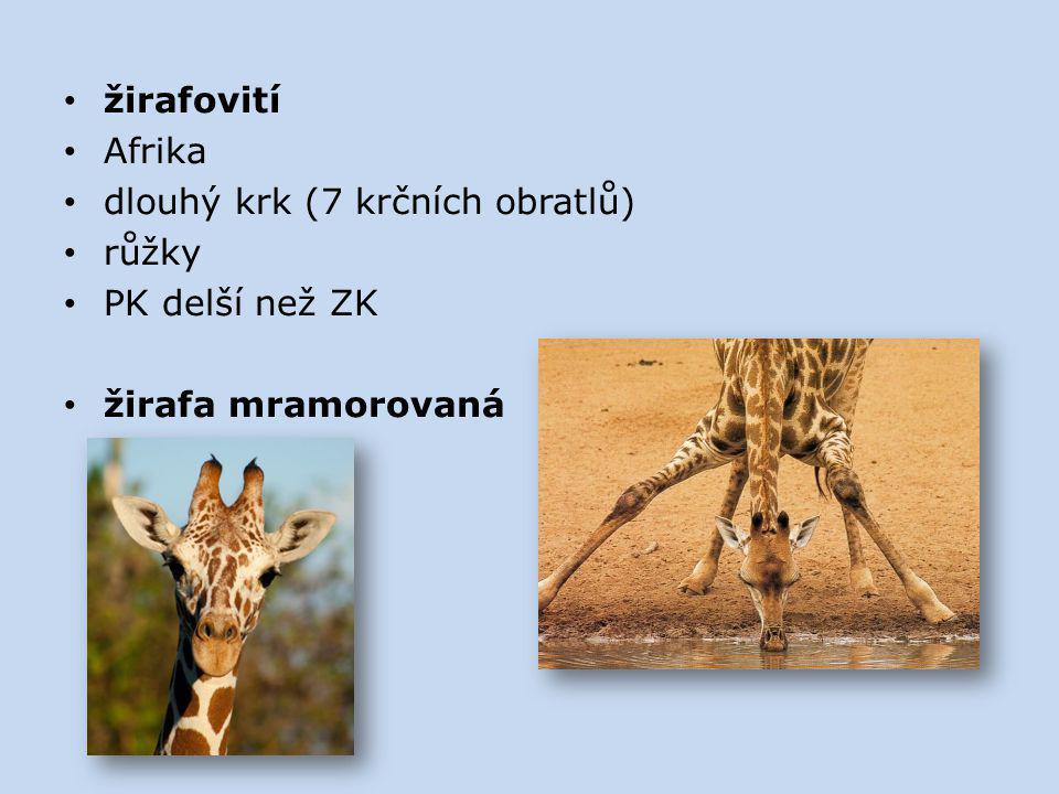 žirafovití Afrika dlouhý krk (7 krčních obratlů) růžky PK delší než ZK žirafa mramorovaná