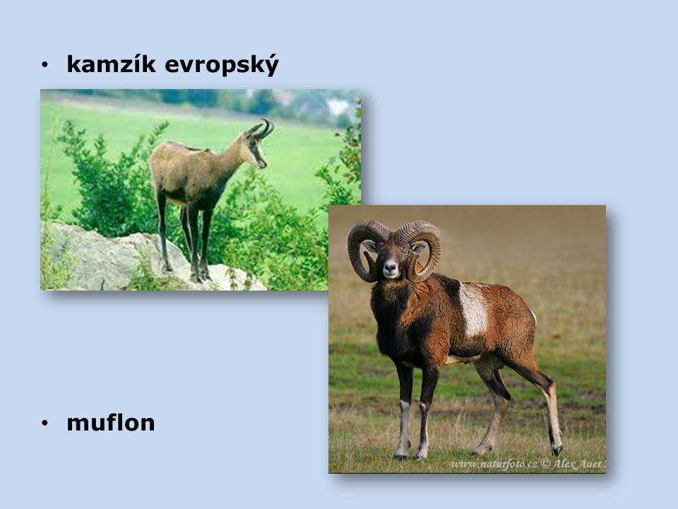 kamzík evropský muflon