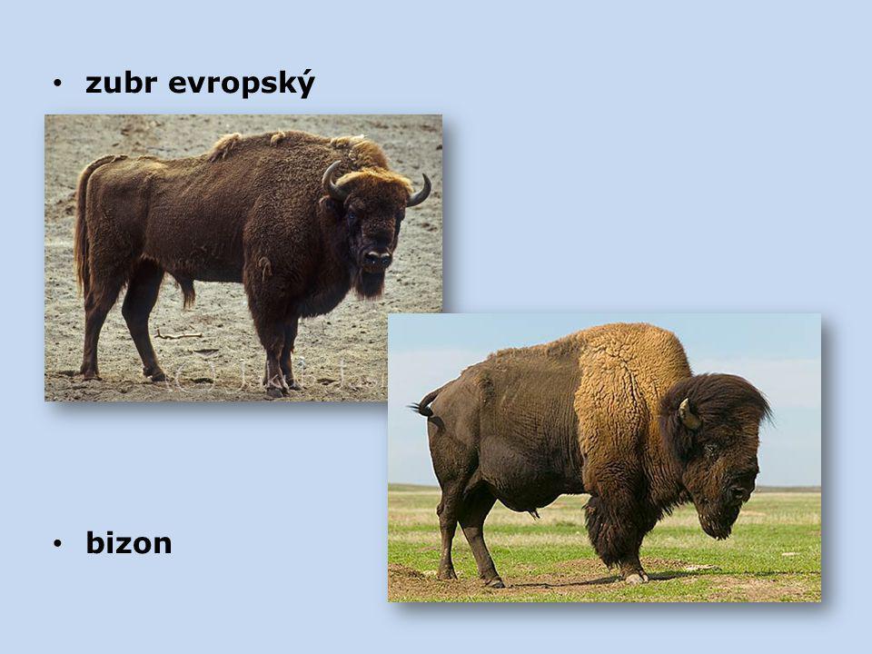 zubr evropský bizon