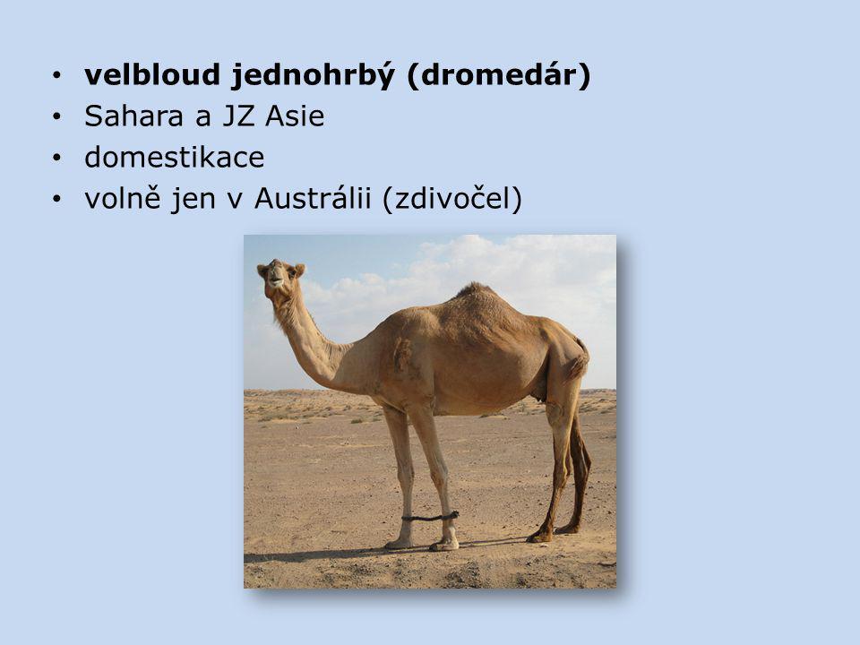 velbloud jednohrbý (dromedár) Sahara a JZ Asie domestikace volně jen v Austrálii (zdivočel)
