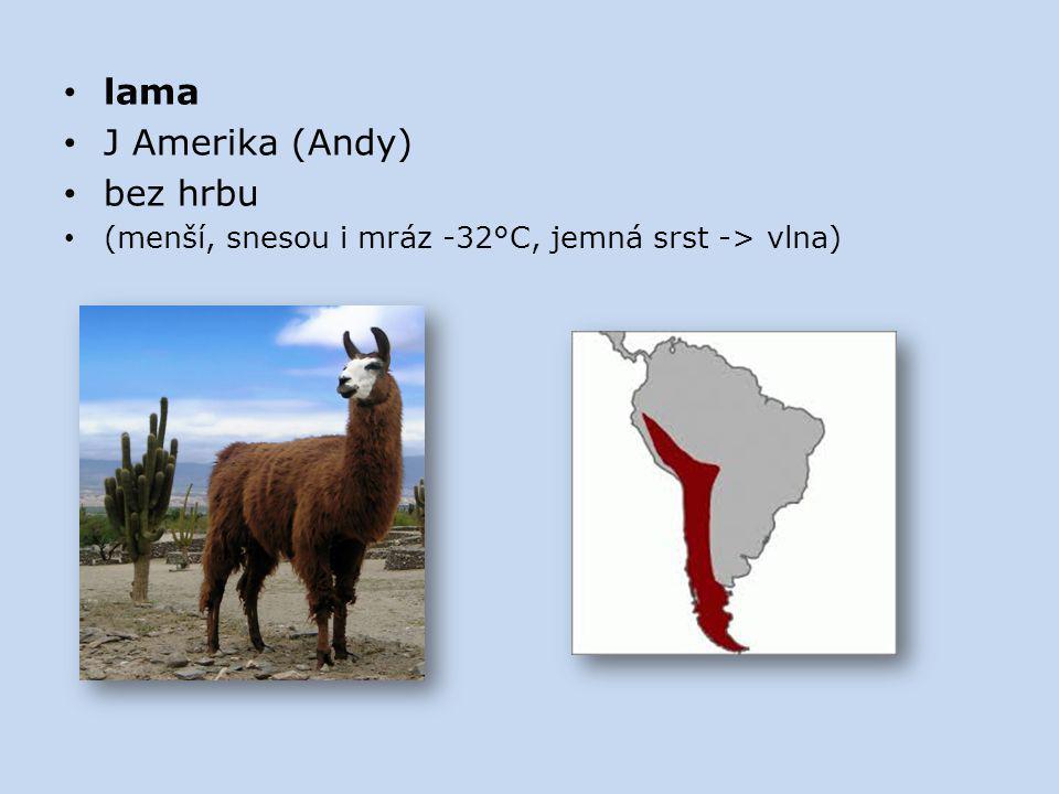 lama J Amerika (Andy) bez hrbu (menší, snesou i mráz -32°C, jemná srst -> vlna)