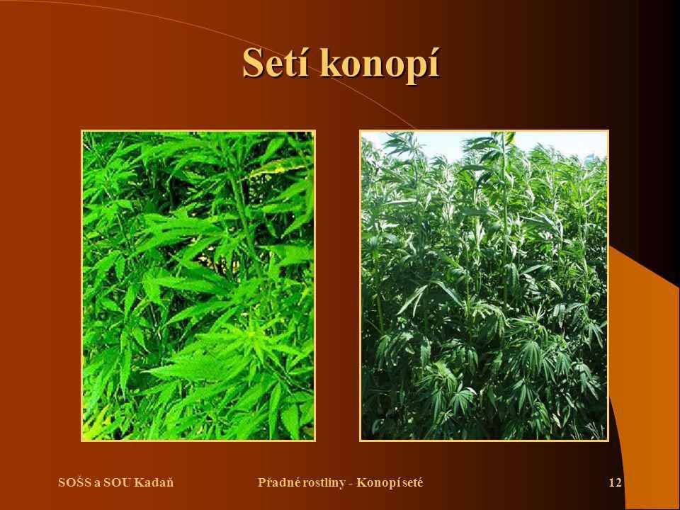 SOŠS a SOU KadaňPřadné rostliny - Konopí seté12 Setí konopí