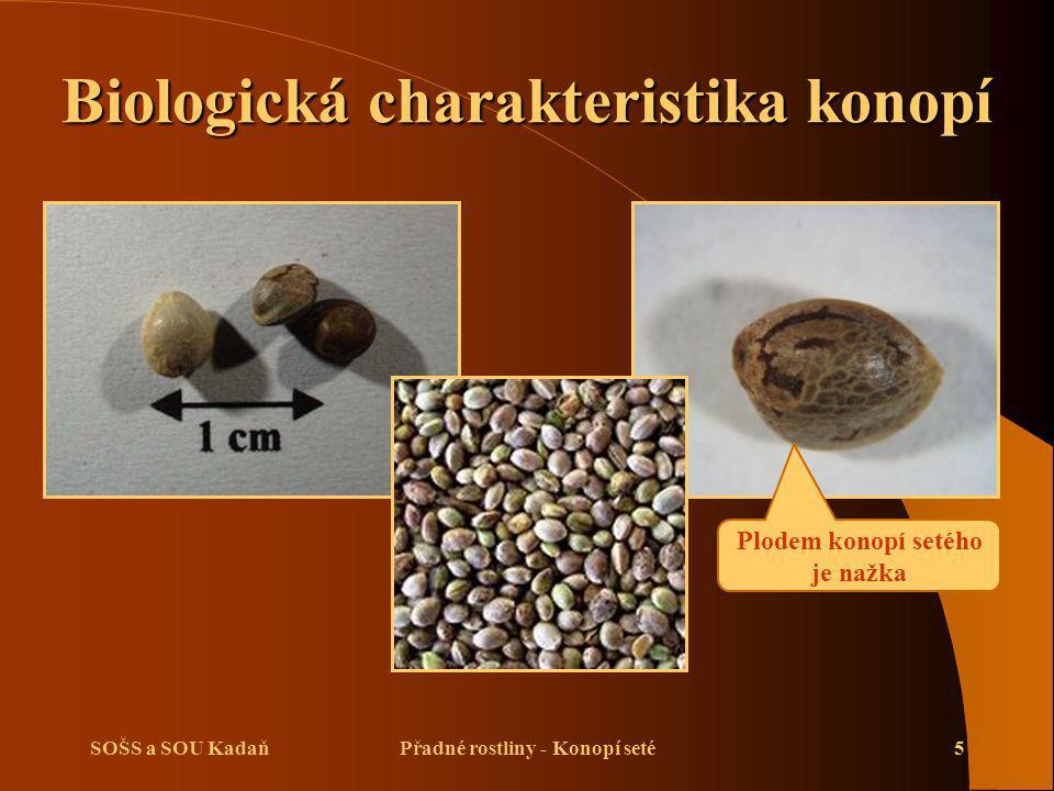 SOŠS a SOU KadaňPřadné rostliny - Konopí seté5 Biologická charakteristika konopí Plodem konopí setého je nažka