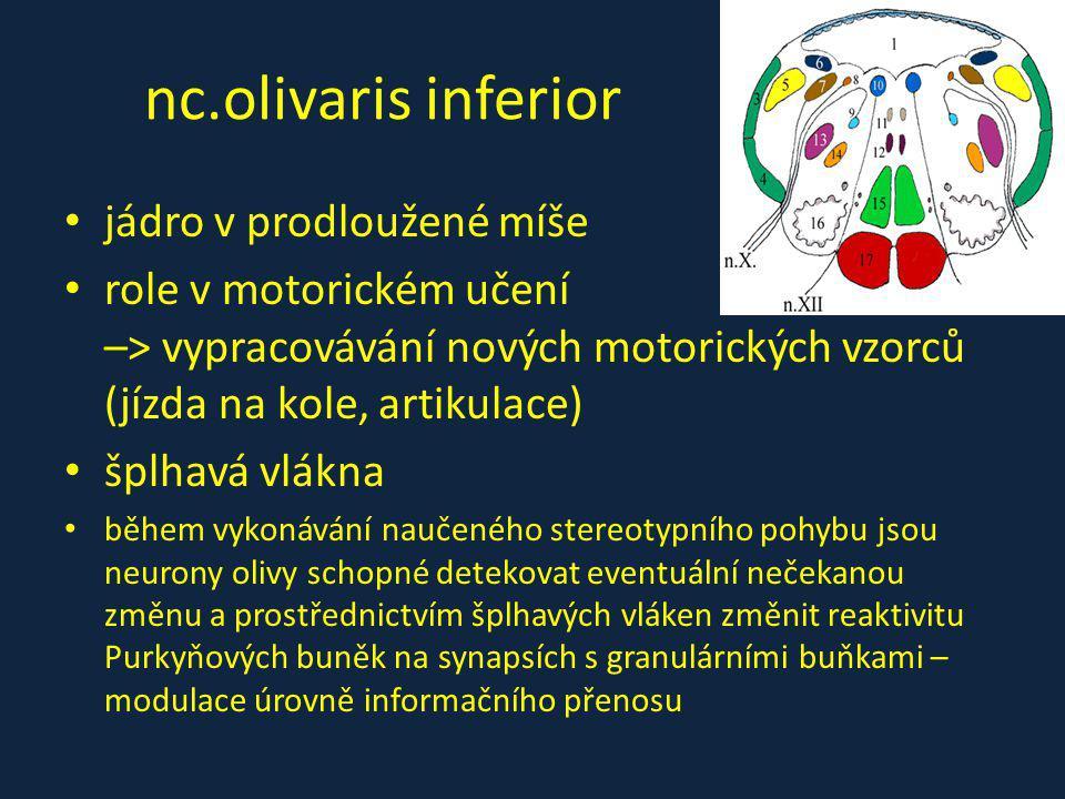 nc.olivaris inferior jádro v prodloužené míše role v motorickém učení –> vypracovávání nových motorických vzorců (jízda na kole, artikulace) šplhavá v