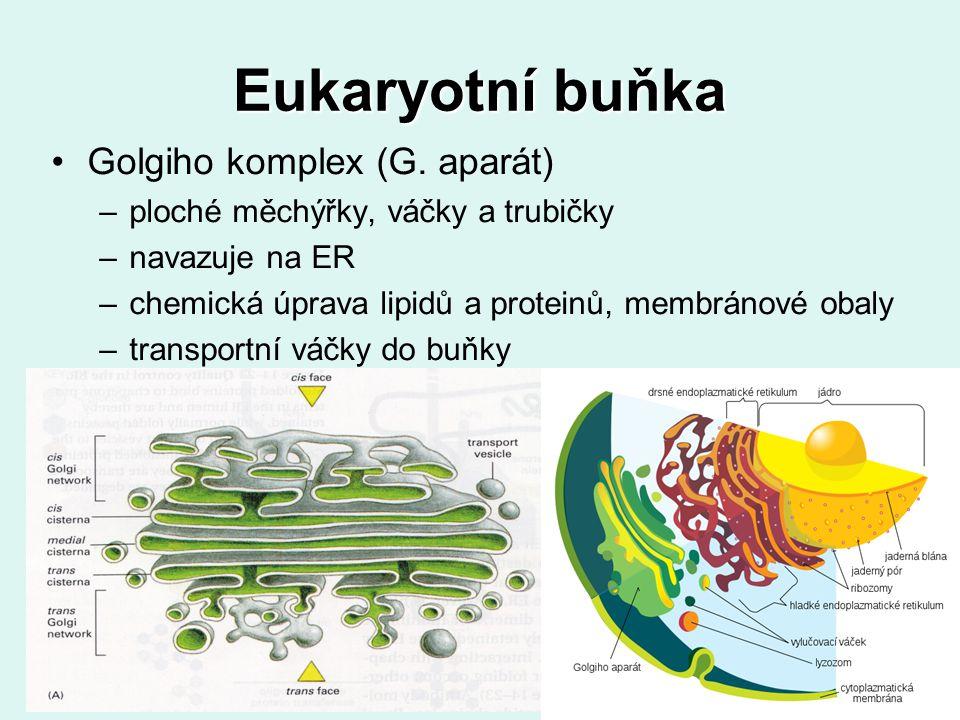 Eukaryotní buňka Golgiho komplex (G. aparát) –ploché měchýřky, váčky a trubičky –navazuje na ER –chemická úprava lipidů a proteinů, membránové obaly –