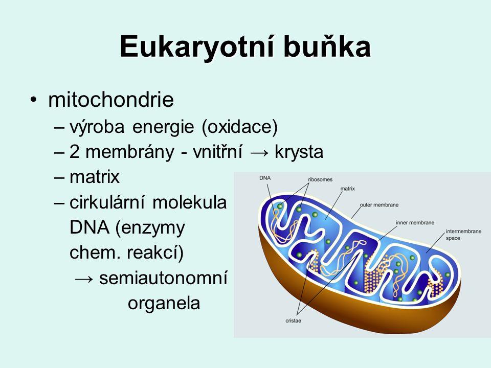 Eukaryotní buňka mitochondrie –výroba energie (oxidace) –2 membrány - vnitřní → krysta –matrix –cirkulární molekula DNA (enzymy chem.