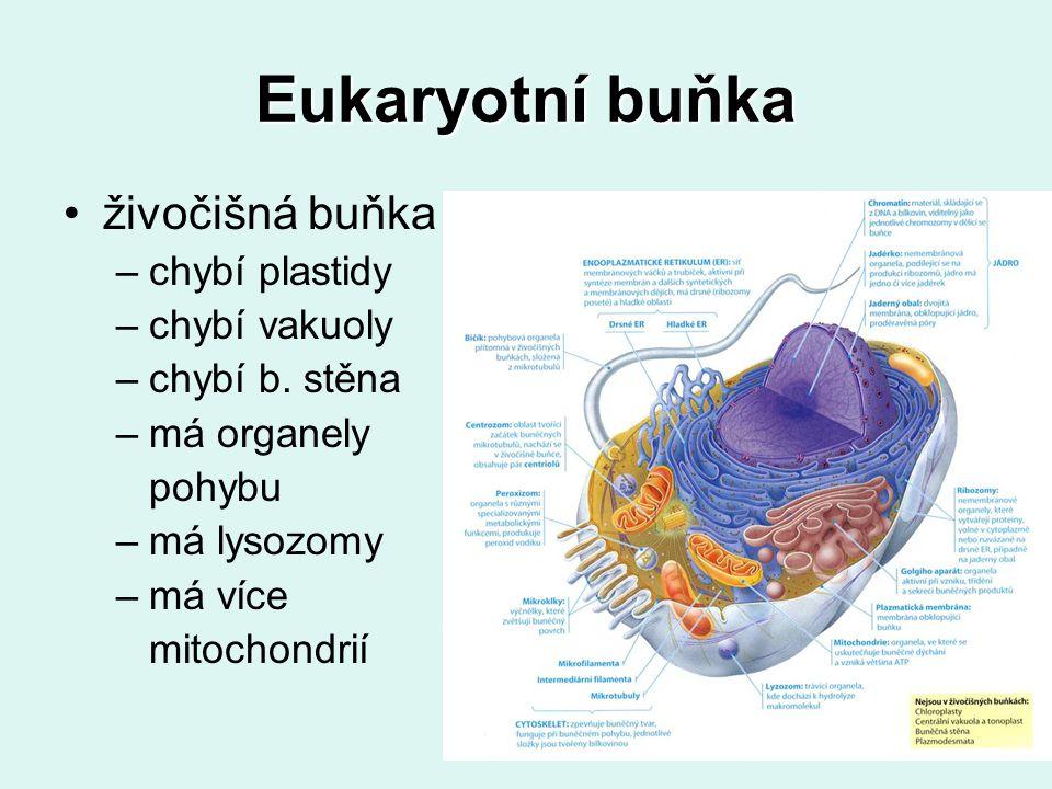 Eukaryotní buňka živočišná buňka –chybí plastidy –chybí vakuoly –chybí b. stěna –má organely pohybu –má lysozomy –má více mitochondrií