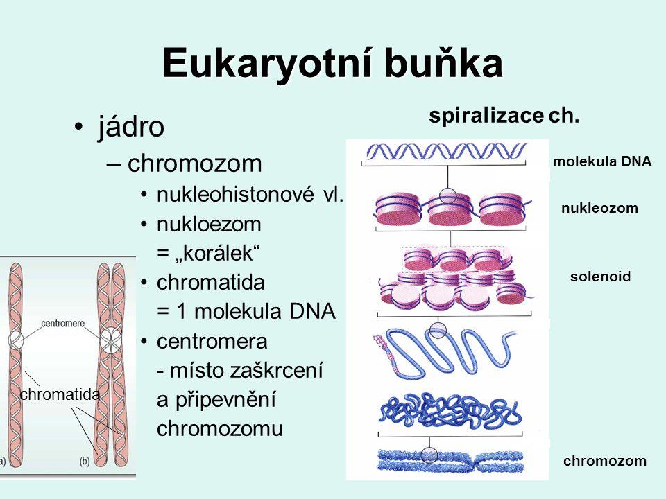 """Eukaryotní buňka jádro –chromozom nukleohistonové vl. nukloezom = """"korálek"""" chromatida = 1 molekula DNA centromera - místo zaškrcení a připevnění chro"""
