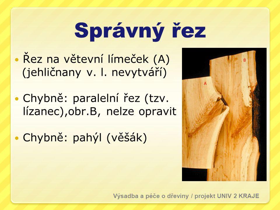 Správný řez Řez na větevní límeček (A) (jehličnany v. l. nevytváří) Chybně: paralelní řez (tzv. lízanec),obr.B, nelze opravit Chybně: pahýl (věšák) Vý