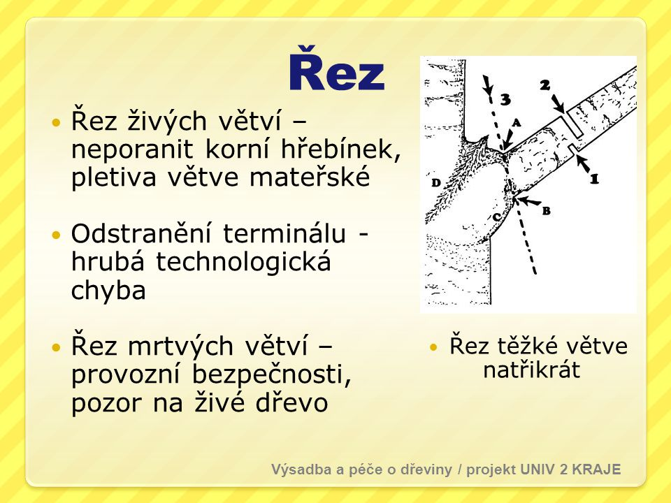 Řez Řez živých větví – neporanit korní hřebínek, pletiva větve mateřské Odstranění terminálu - hrubá technologická chyba Řez mrtvých větví – provozní