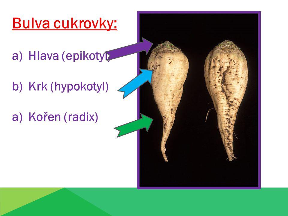 Bulva cukrovky: a)Hlava (epikotyl) b)Krk (hypokotyl) a)Kořen (radix)