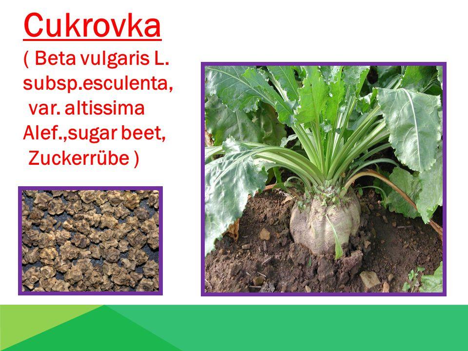 Cukrovka ( Beta vulgaris L. subsp.esculenta, var. altissima Alef.,sugar beet, Zuckerrübe )