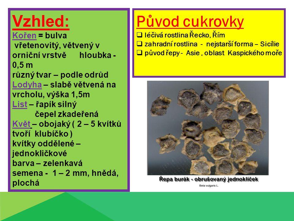 Vzhled: Kořen = bulva vřetenovitý, větvený v orniční vrstvě hloubka - 0,5 m různý tvar – podle odrůd Lodyha – slabě větvená na vrcholu, výška 1,5m List – řapík silný čepel zkadeřená Květ – obojaký ( 2 – 5 kvítků tvoří klubíčko ) kvítky oddělené – jednokličkové barva – zelenkavá semena - 1 – 2 mm, hnědá, plochá Původ cukrovky  léčivá rostlina Řecko, Řím  zahradní rostlina - nejstarší forma – Sicílie  původ řepy - Asie, oblast Kaspického moře