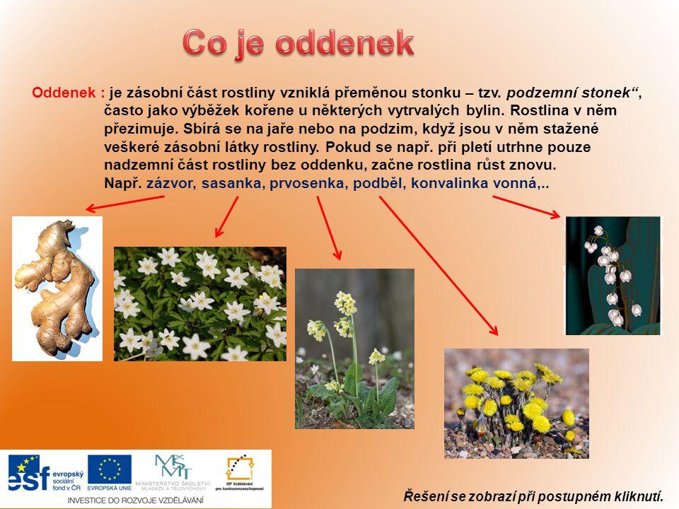 """Oddenek : je zásobní část rostliny vzniklá přeměnou stonku – tzv. podzemní stonek"""", často jako výběžek kořene u některých vytrvalých bylin. Rostlina v"""