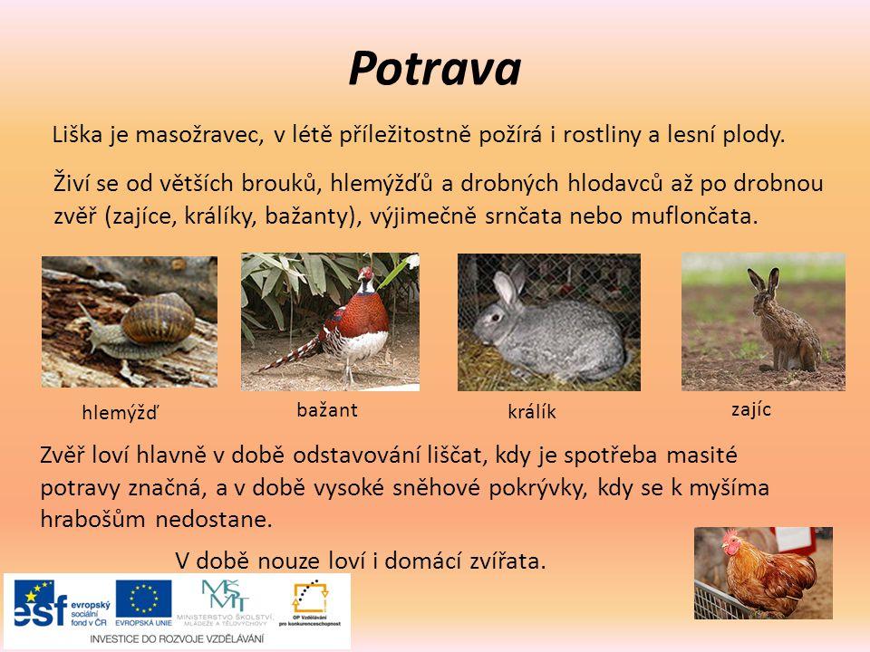 Potrava Liška je masožravec, v létě příležitostně požírá i rostliny a lesní plody. Živí se od větších brouků, hlemýžďů a drobných hlodavců až po drobn