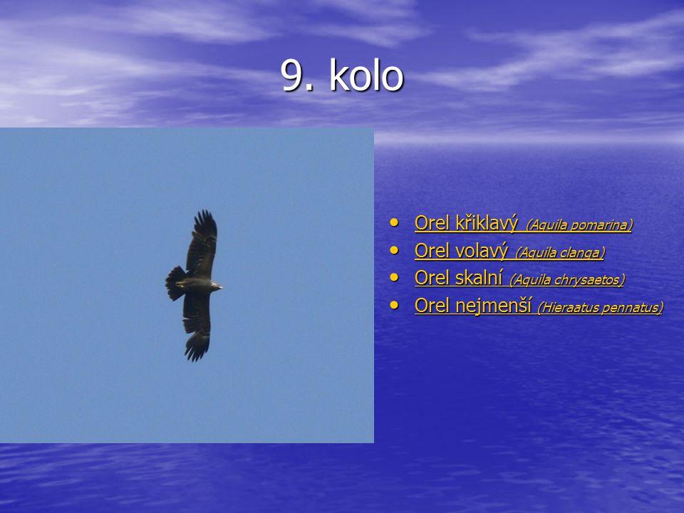 9. kolo Orel křiklavý (Aquila pomarina) Orel křiklavý (Aquila pomarina) Orel křiklavý (Aquila pomarina) Orel křiklavý (Aquila pomarina) Orel volavý (A