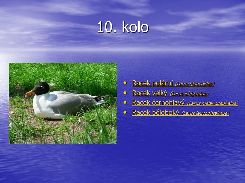 10. kolo Racek polární (Larus glaucoides) Racek polární (Larus glaucoides) Racek polární (Larus glaucoides) Racek polární (Larus glaucoides) Racek vel