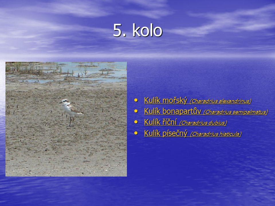 5. kolo Kulík mořský (Charadrius alexandrinus) Kulík mořský (Charadrius alexandrinus) Kulík mořský (Charadrius alexandrinus) Kulík mořský (Charadrius
