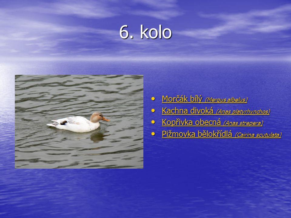 6. kolo Morčák bílý (Mergus albelus) Morčák bílý (Mergus albelus) Morčák bílý (Mergus albelus) Morčák bílý (Mergus albelus) Kachna divoká (Anas platyr