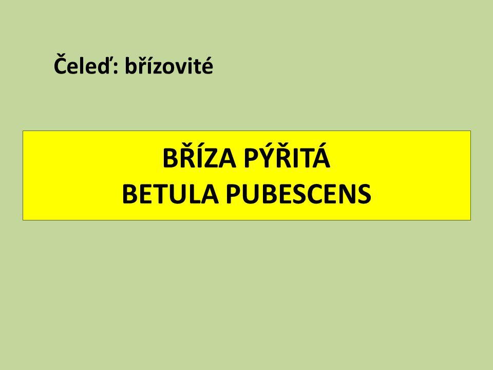 BŘÍZA PÝŘITÁ BETULA PUBESCENS Čeleď: břízovité