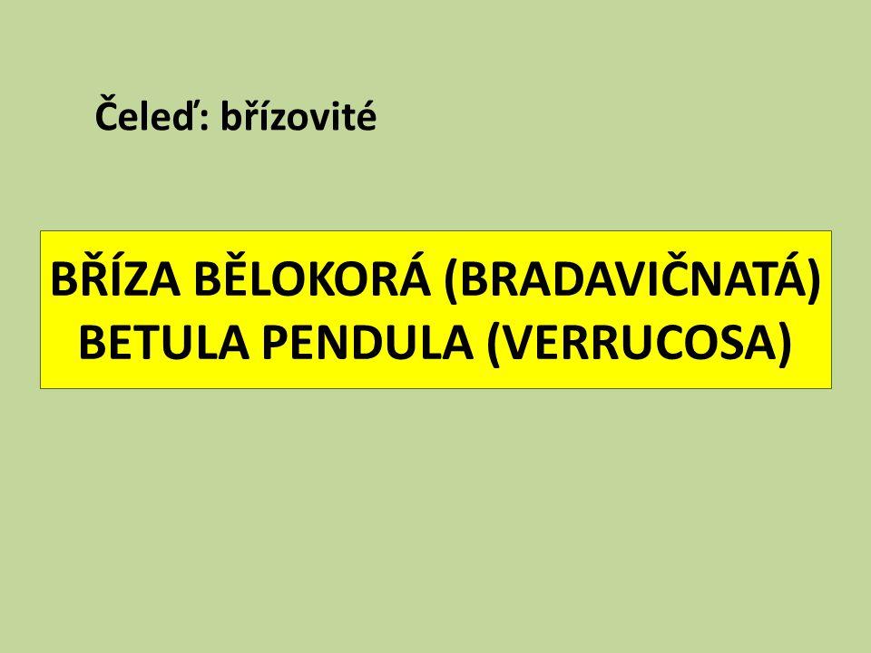 BŘÍZA BĚLOKORÁ (BRADAVIČNATÁ) BETULA PENDULA (VERRUCOSA) Čeleď: břízovité