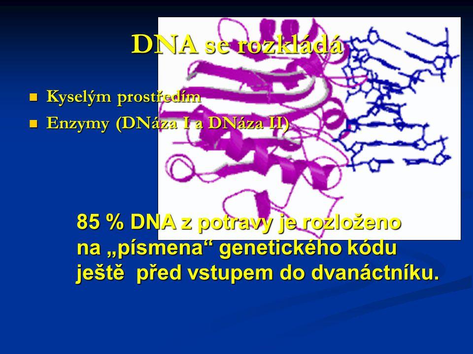 """DNA se rozkládá Kyselým prostředím Kyselým prostředím Enzymy (DNáza I a DNáza II) Enzymy (DNáza I a DNáza II) 85 % DNA z potravy je rozloženo na """"písmena genetického kódu ještě před vstupem do dvanáctníku."""